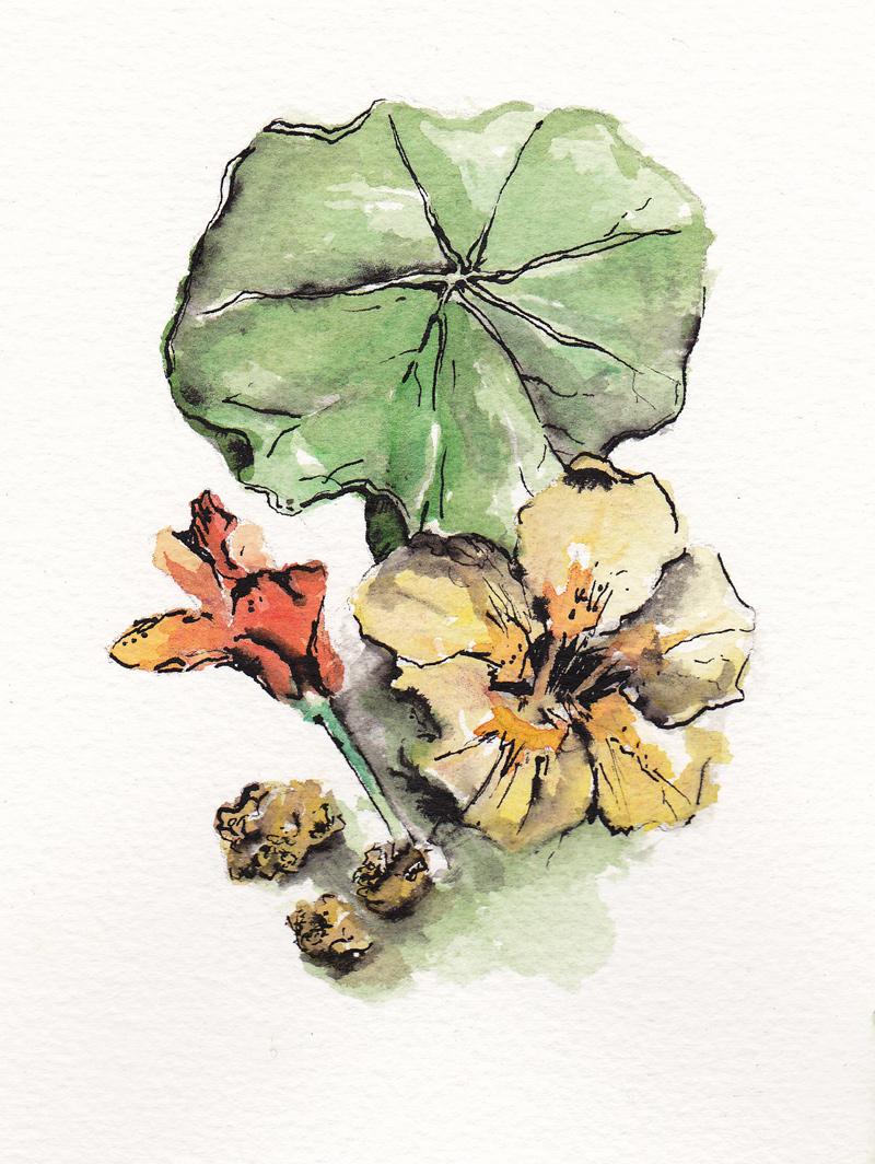 Aquarelle pour illustrer fleur, feuille et graines de capucine.