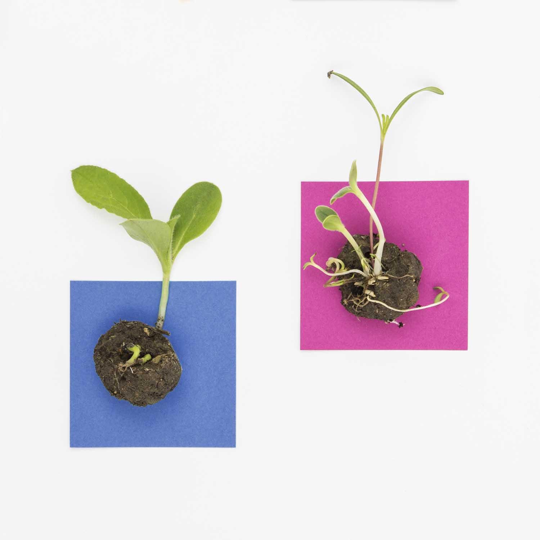 2 seed bombs avec aperçu des racines et des premières feuilles